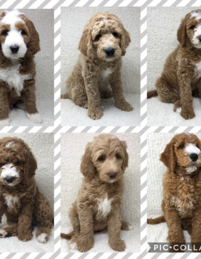 Maizey & Santana October 2019 English Goldendoodle Litter