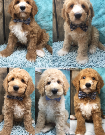 Moxie & Mitchell 2019 Australian Labradoodle litter (Thanks to Silver Creek Labrodoodles for sharing the very handsome Mitchell to produce this amazing litter. November 27th, 2019)